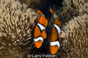 Clown anemone dancing around their home by Larry Polster